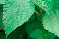 植物染色「京都の初夏・秋を染める」